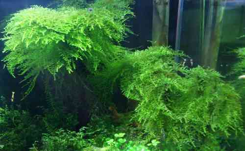 "Best Live Plants for Freshwater Aquarium Rare and Exotic ""Isopterygium Sp. or Mini Taiwan Moss"""