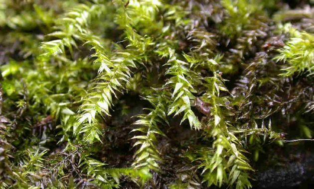 Low Light Freshwater Aquarium Plants for Nano Tanks Leptodictyum Riparium or Streamside Leptodictyum Moss