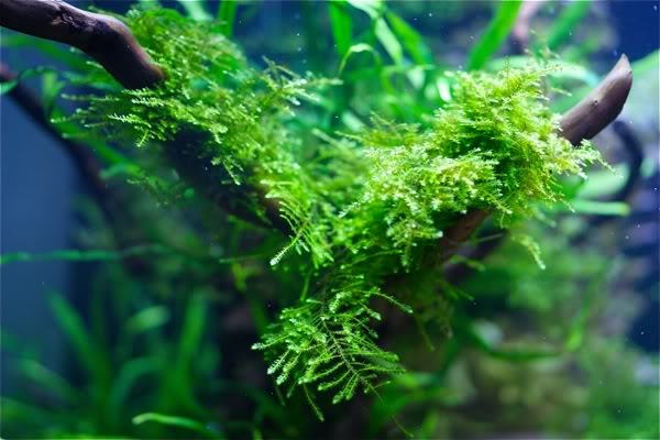 "The Best Carpet Plants for Aquarium With Large Style Aquariums ""Anchor Moss (Vesicularia Sp)"" RARE AQUARIUM MOSS PLANT"