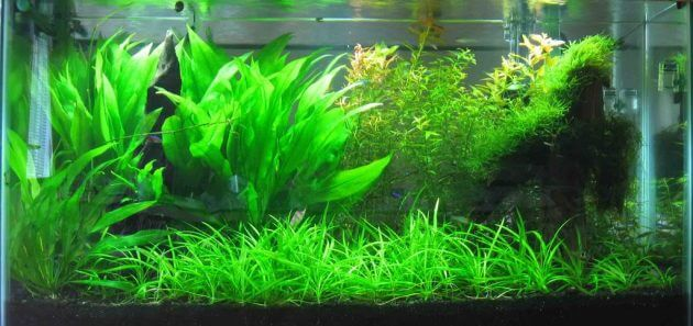 Best Freshwater Aquarium Grass For Planting In Large Aquarium Echinodorus Tenellus or Helanthium Tenellum or Pygmy Chain Sword