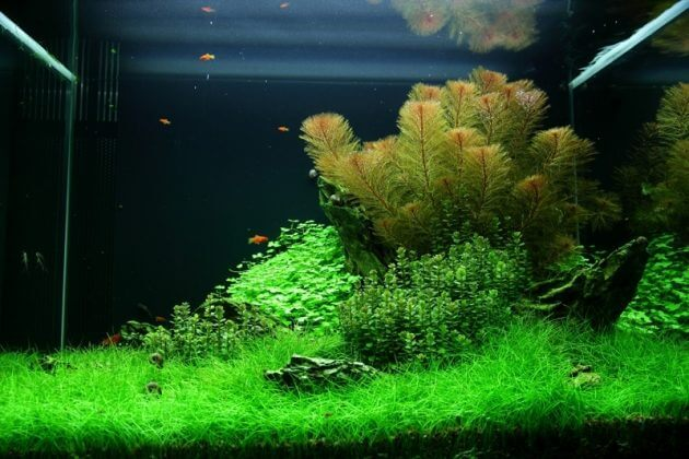 Best Ground Cover Aquarium Plants Eleocharis sp 'Mini'