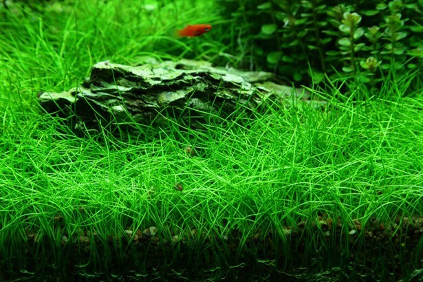 Best Ground Cover Aquarium Plants Eleocharis Sp Mini