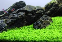 Easy Carpeting Aquarium Plants Micranthemum sp. Montecarlo Called New Large Pearl Grass