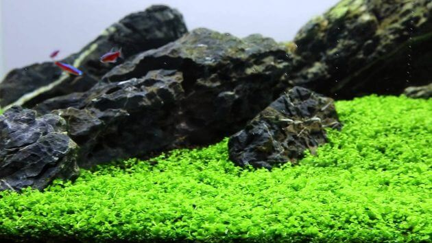 "Easy Carpeting Aquarium Plants Micranthemum sp. ""Montecarlo"" Called New Large Pearl Grass"