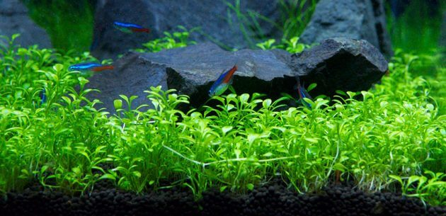 Fast Growing Aquarium Carpet Plants Glossostigma Elatinoides Also Known As Small Mud-Mat