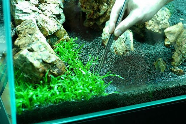 Grass For Freshwater Aquarium Lilaeopsis Brasiliensis or Called Micro Sword