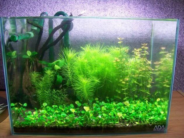 Easy Foreground Aquarium Plants for Nano Tank Marsilea or Water Clover