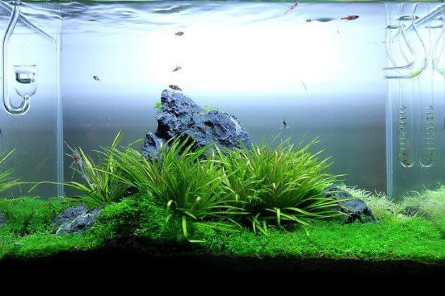 The Best Aquatic Grass for Aquariums Blyxa Japonica Var. Japonica or Called Japanese Bamboo