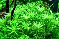 Live Plants in Freshwater Aquarium Pogostemon Helferi or Called Daonoi