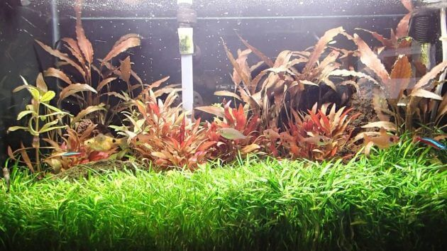 Best Foreground Plants Aquarium Cryptocoryne Parva For Nano Tanks