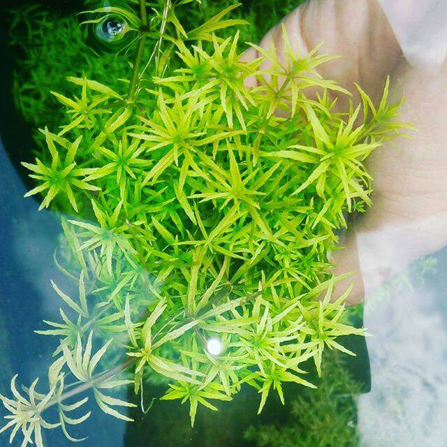 The Best Aquarium Stem Plants For Foreground Limnophila sp. Vietnam