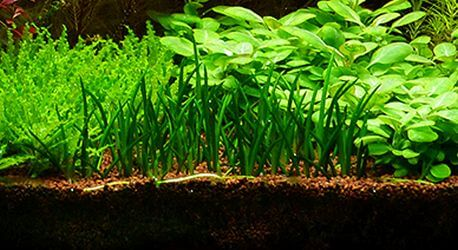 The Best Foreground Aquatic Grass For Freshwater Aquariums Littorella Uniflora