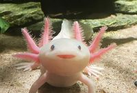 Are Axolotls Good Pets For You It's A Complete Guide Of Keeping, Feeding, Behavior, Characteristics