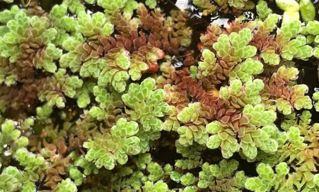Azolla Cristata Is The Best Live Floating Plants For Betta Fish Tank