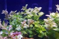 Bacopa Australis Is The Easy Keeping Stem Plants For Beginner In Aquarium