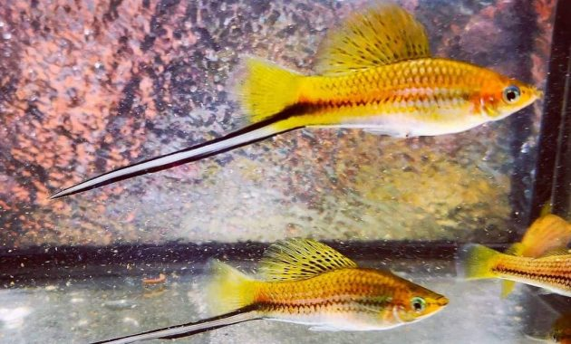 Dwarf Gourami Fish Tank Mates - List Of 9 The Best Friendly And Compatible Species