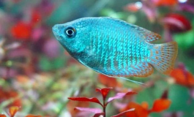 The Complete Guide To Keep Dwarf Gourami Fish (Tank Setup And Mates, Appearance, Feeding, Disease, Breeding)