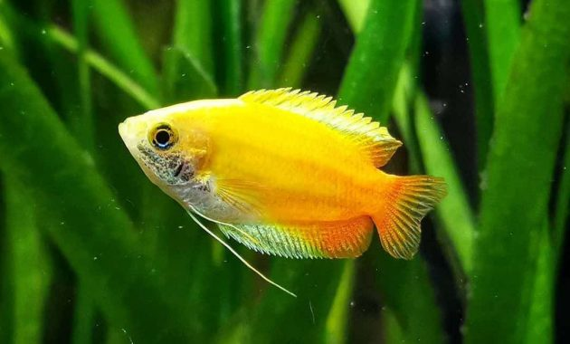 The Complete Guide To Keep Dwarf Gourami Fish (Tank Setup And Mates, Appeareance, Feeding, Disease, Breeding)