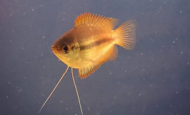 Complete Honey Gourami Care Guide