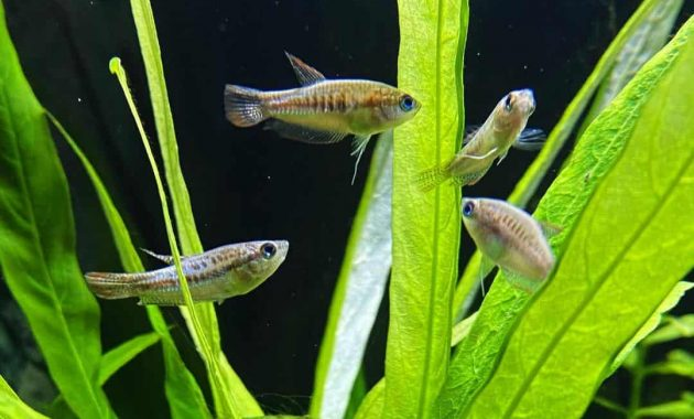 The Complete Guide To Keeping Sparkling Gourami Fish