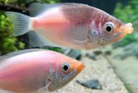 The Ultimate Kissing Gourami Fish Care Sheet