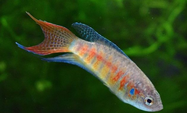 Freshwater Paradise Gourami Complete Care Guide